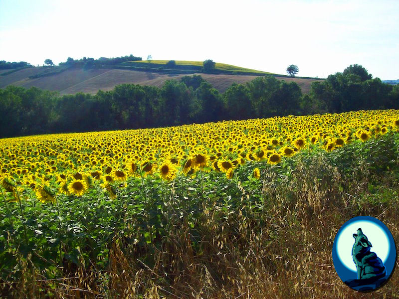 Sunflowers near Jesi
